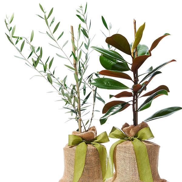 The Magnolia Company: magnolia and olive trees