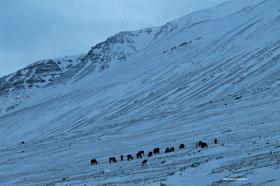 Horses in Vatnsdalur