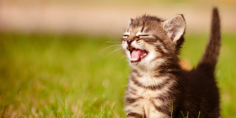 Why Do Cats Meow, and What Do They Mean?