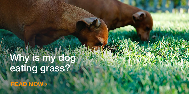 Why is my dog eating grass?