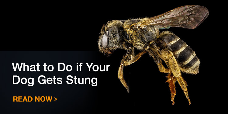 What to Do if Your Dog Gets Stung