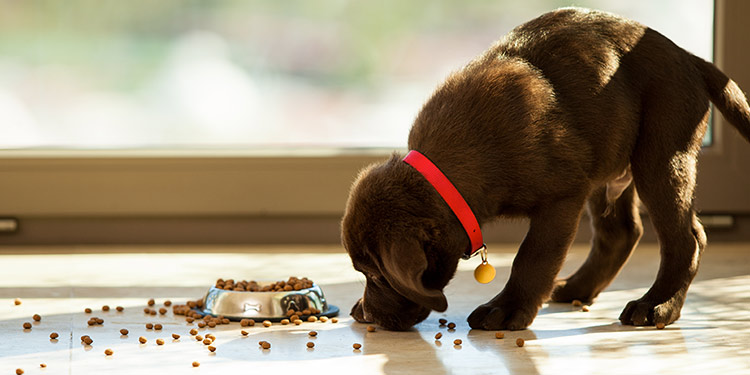 What to Feed Puppies – Puppy Basic Nutrition