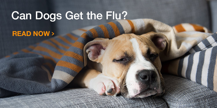 Can Dogs get the Flu?