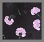 玫瑰石英康乃馨