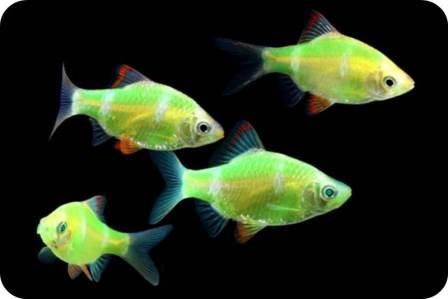 glofish barb