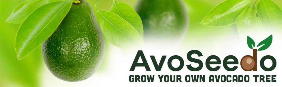 Grow your own avocado tree avoseedo bowl evergreen free for Grow your own avocado tree from seed