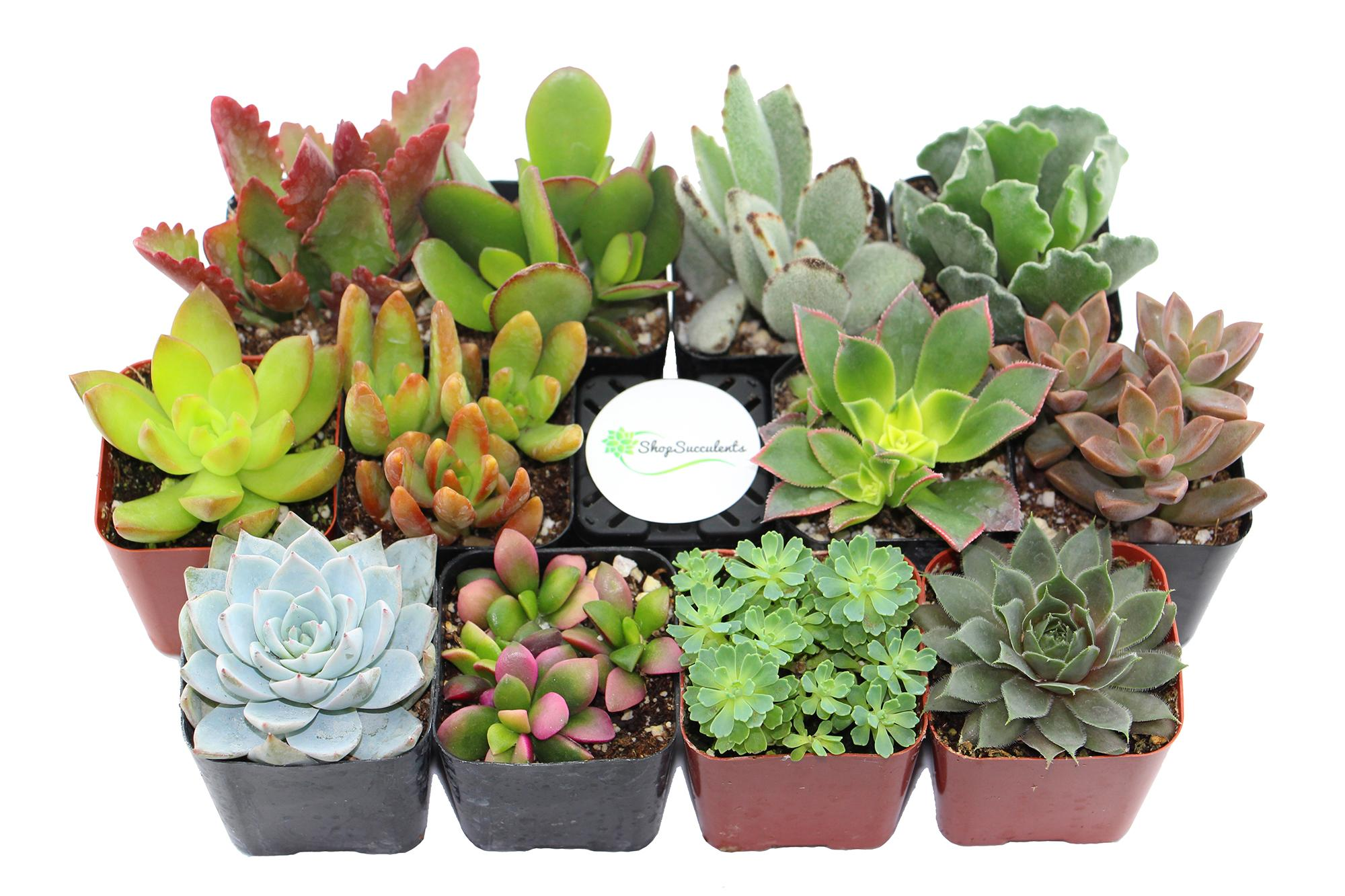 Shade Succulents: Guía para el jardín resistente a la sequía | INSTALL-IT-DIRECT