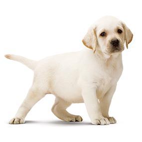 Amazoncom Royal Canin Breed Health Nutrition Labrador Retriever