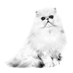 Age 69 persian kitty zoe - 5 4