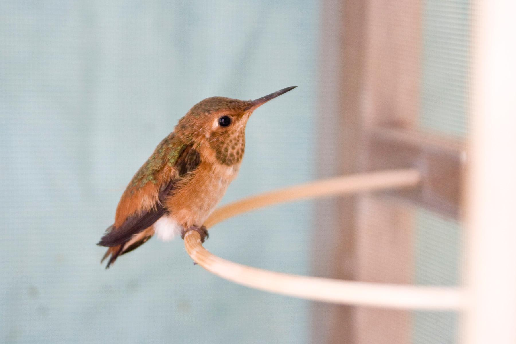 Amazon Fastest Things On Wings Rescuing Hummingbirds In