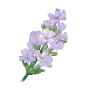 Lavender Joy