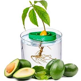 avoseedo bowl grow your own avocado tree evergreen perfect avocado tree growing. Black Bedroom Furniture Sets. Home Design Ideas