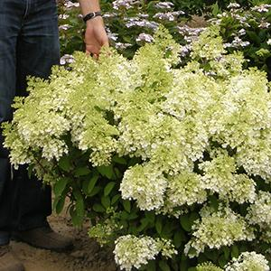 bobo hardy hydrangea paniculata live shrub. Black Bedroom Furniture Sets. Home Design Ideas