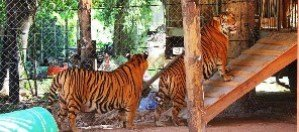 Tigers in Zoo Support