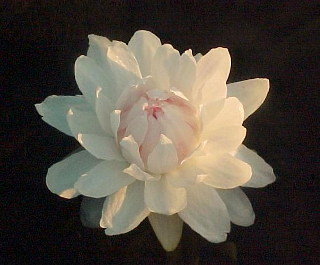 Amazon The Flower Of Empire An Amazonian Water Lily The Quest