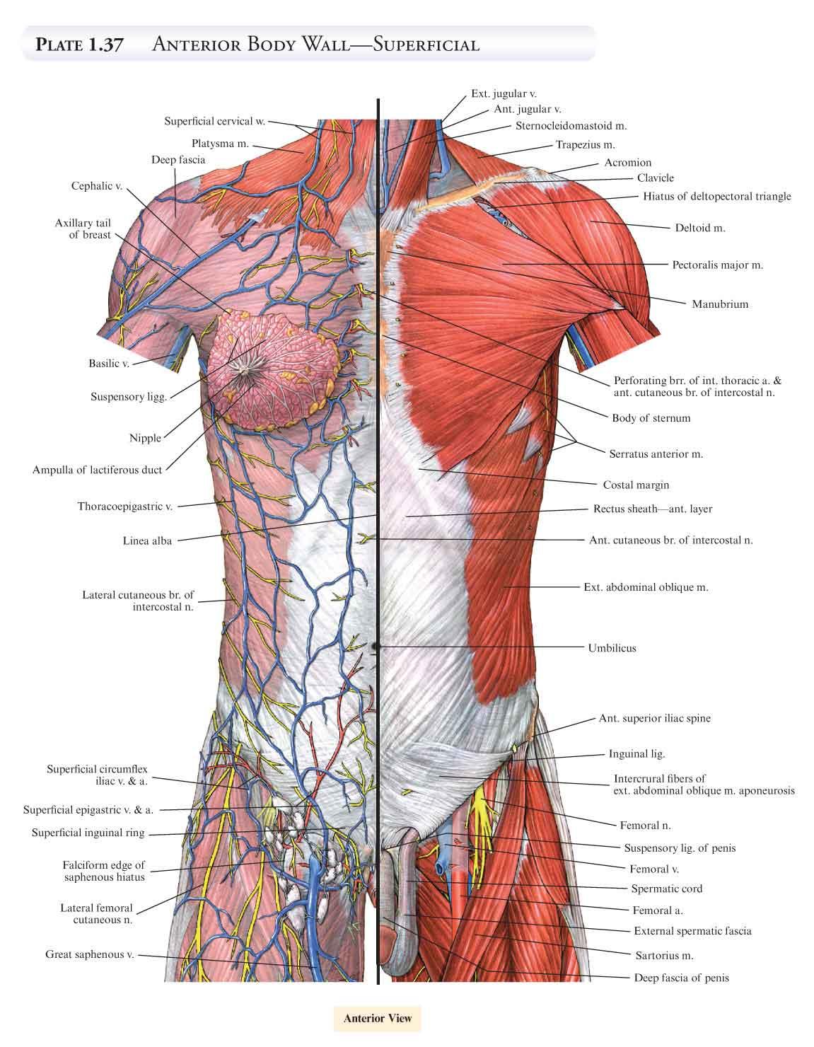 Schön Online Anatomieatlas Galerie - Menschliche Anatomie Bilder ...
