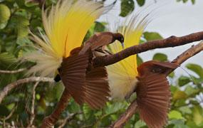 Rust birds with yellow wings