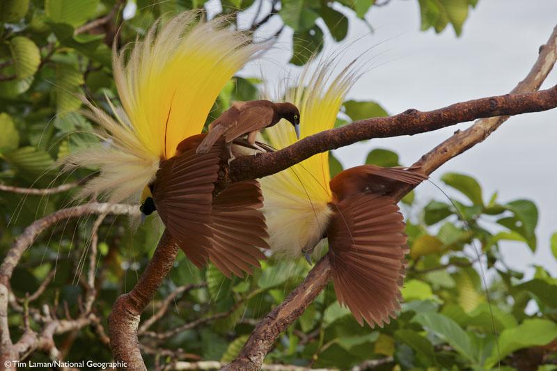 Amazoncom Birds Of Paradise Revealing The Worlds Most