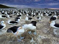 Great Migrations: Albatrosses