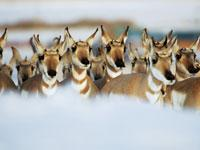 Great Migrations: Pronghorns