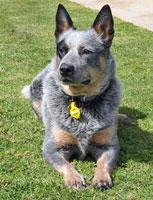 Jasper the Blue Heeler Mix