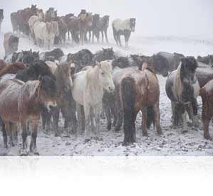 Nikon photo of a herd of horses in the snow, shot with the AF-S DX NIKKOR 16-80mm f/2.8-4E ED VR lens