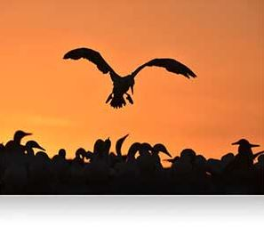 Nikon photo of a silhouetted bird against an orange sky photographed with the AF-S NIKKOR 600mm f/4E FL ED VR lens showing AF tracking