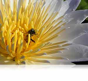 Nikon B700 photo of a bee in a yellow and white flower showcasing RAW control