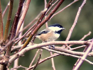 https://images-na.ssl-images-amazon.com/images/G/01/electronics/Telescope/Celestron/4-Chickadee3._V202921033_.jpg