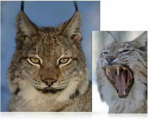 Portrait and action photos of a wild cat photographed with the Nikon AF-S NIKKOR 80-400mm f/4.5-5.6G ED VR lens