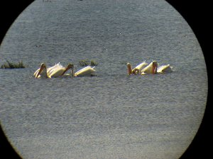 American White Pelicans shot at 20X