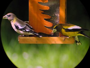 Evening Grosbeaks shot at 20X