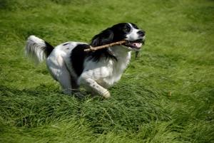 Dog running with stick.