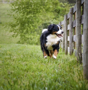 Dog running along fence.