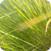 Grass Pollen Allergies