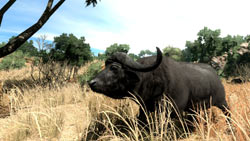An in-game view of a cape water buffalo in 'Cabela's Big Game Hunter 2010'