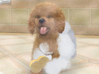 Giving your Toy Poodle a bath in Nintendogs + Cats: Toy Poodle and New Friends