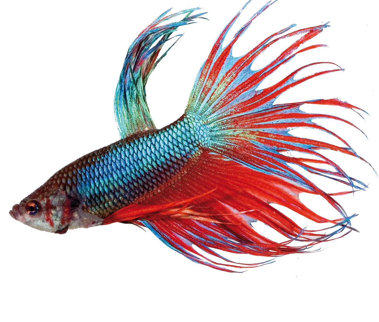 Tetra betta hochwertiges hauptfutter speziell entwickelt for Kampffische arten