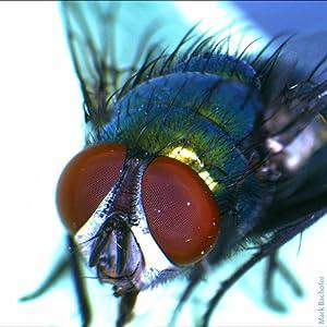 Schmeißfliege im Auflicht gesehen durch das Forscher-Mikroskop
