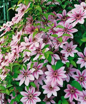 clematis nelly moser 1 pflanze im 2 liter topf garten. Black Bedroom Furniture Sets. Home Design Ideas
