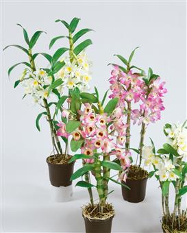 Asiatische traubenorchidee im deko topf garten - Asiatische zimmerpflanzen ...