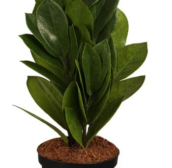zamioculcas 9cm topf 20 30 cm 1 pflanze garten. Black Bedroom Furniture Sets. Home Design Ideas