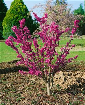 pflanzenservice chinesischer judasbaum cercis chinensis 1 pflanze 2 3 liter topf. Black Bedroom Furniture Sets. Home Design Ideas