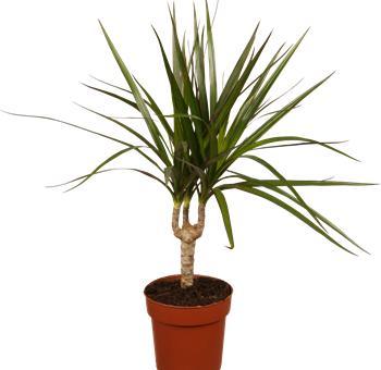 dominik blumen und pflanzen ananas baum dracena marginata 1 pflanze 10 12 cm topf ca. Black Bedroom Furniture Sets. Home Design Ideas