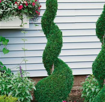 pflanzenservice lebensbaum formgeh lz thuja occidentalis spirale 1 pflanze 7 5. Black Bedroom Furniture Sets. Home Design Ideas