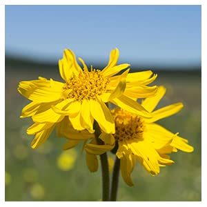 Arnica, flower, relief, pain