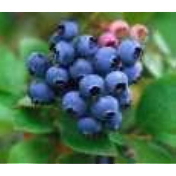 450 Graines Northern Highbush Blueberry /'Vaccinium corymbosum/' Blueberries seeds