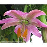 Passiflora Mollissima Passion Banana Seeds Pink Purple Flowers Slender Fruit