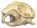 Prairie Dog Skull (Teaching Quality Replica)