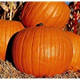 15+ - 1 oz. Connecticut Field Pumpkin Seeds - Great for Carving (Jack O'Lantern) (25+ Seeds)